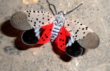 Spotted Lanternfly  - Click to enlarge
