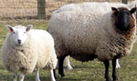 Photo of Sheep