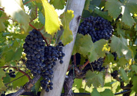 Photo of wine grapes - Click to enlarge