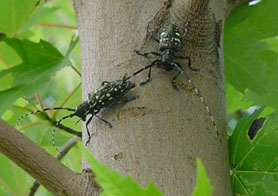 Photo of Asian longhorned beetle - Click to enlarge