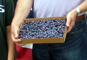 Photo of just-picked blueberries - Click to enlarge
