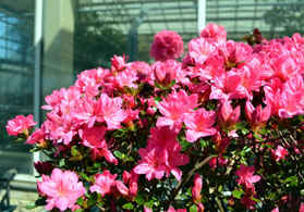 Photo of an azalea - Click to enlarge