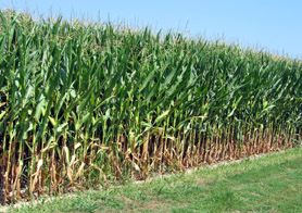 Photo of corn in field - Click to enlarge