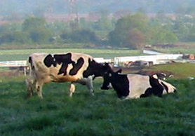 Photo of cows - Click to enlarge
