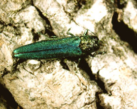 Photo of the Emerald Ash Borer - Click to enlarge