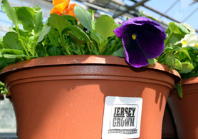 Photo of pansies with the Jersey Grown label - Click to enlarge