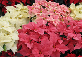 Photo of various varieties of poinsettias - Click to enlarge