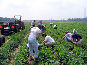 Photo of gleaning at Robson Farm in Wrightstown