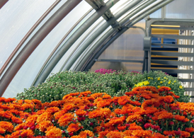 Photo of mums in the South Hunterdon Regional HS greenhouse - Click to enlarge