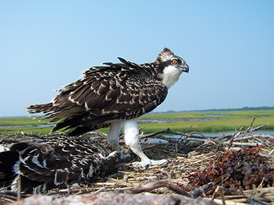 pictures from the Osprey Population Enhancement SEP site