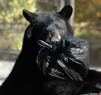 Bear in dumpster