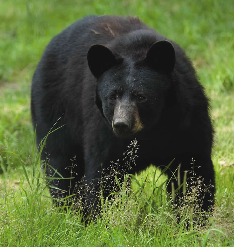 NJDEP Division of Fish & Wildlife - Know the Bear Facts ... - photo#49