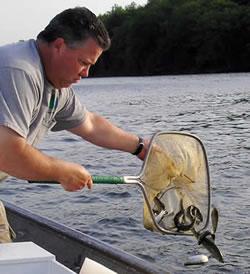 Njdep division of fish wildlife landlocked salmon in for Mass fish stocking