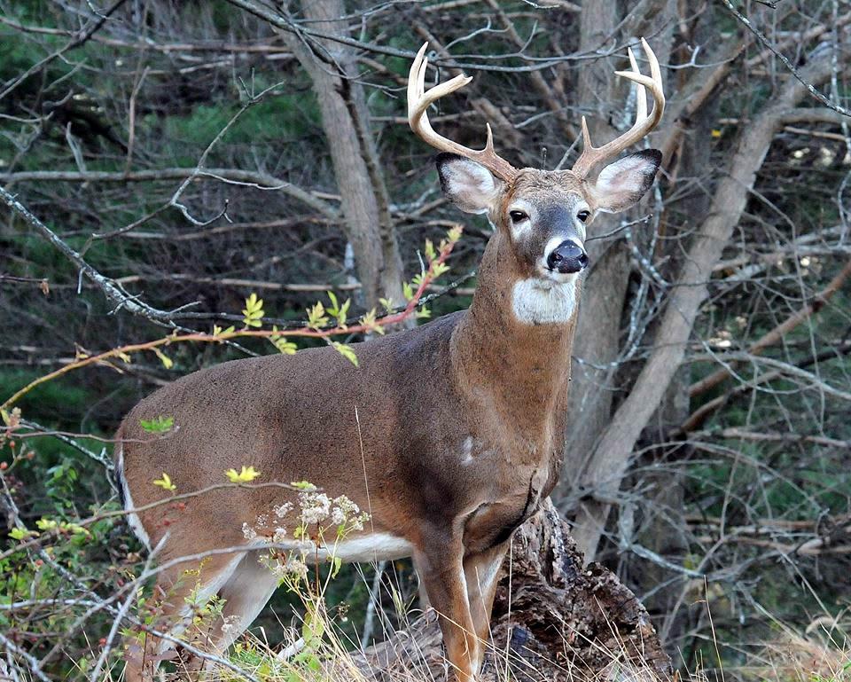 how to train a beagle to hunt deer