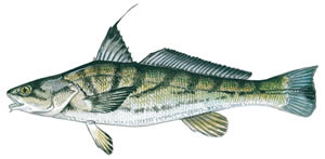 NJDEP Division of Fish & Wildlife - Northern Kingfish: A Profile