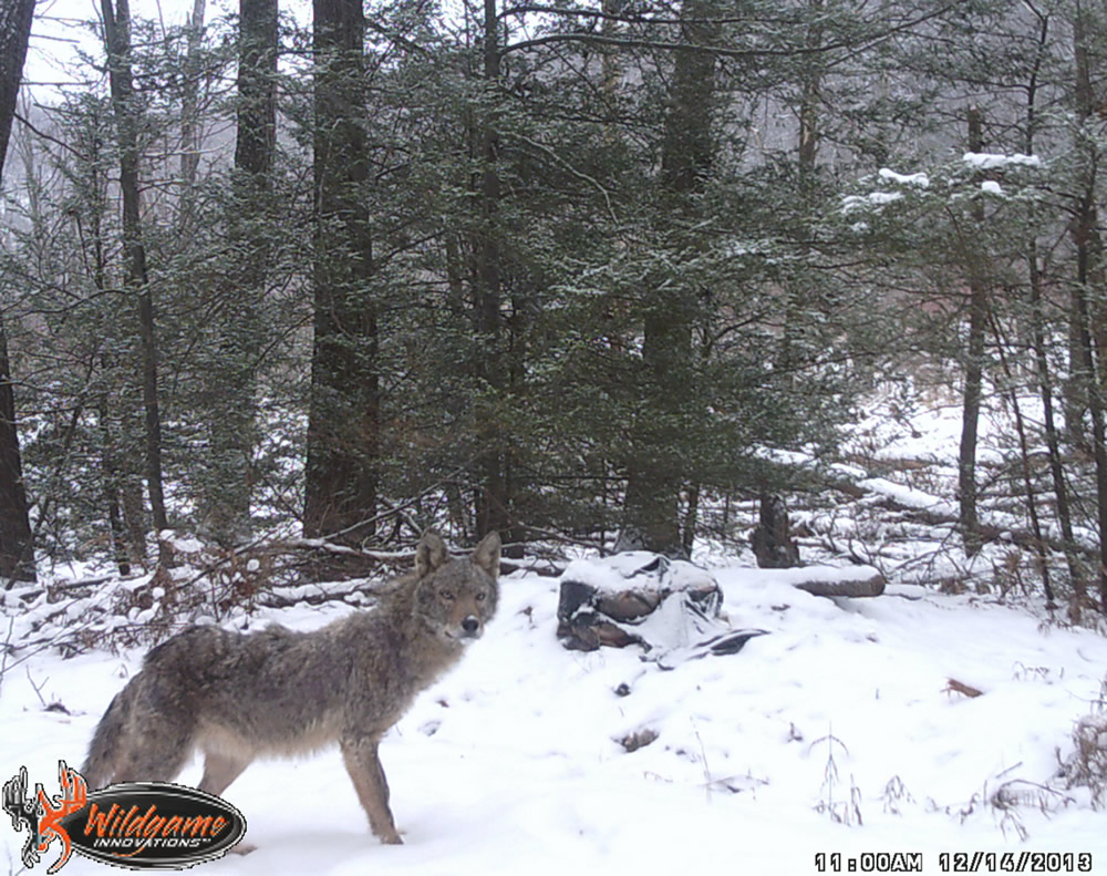 Njdep division of fish wildlife coyotes in new jersey for Fish and wildlife