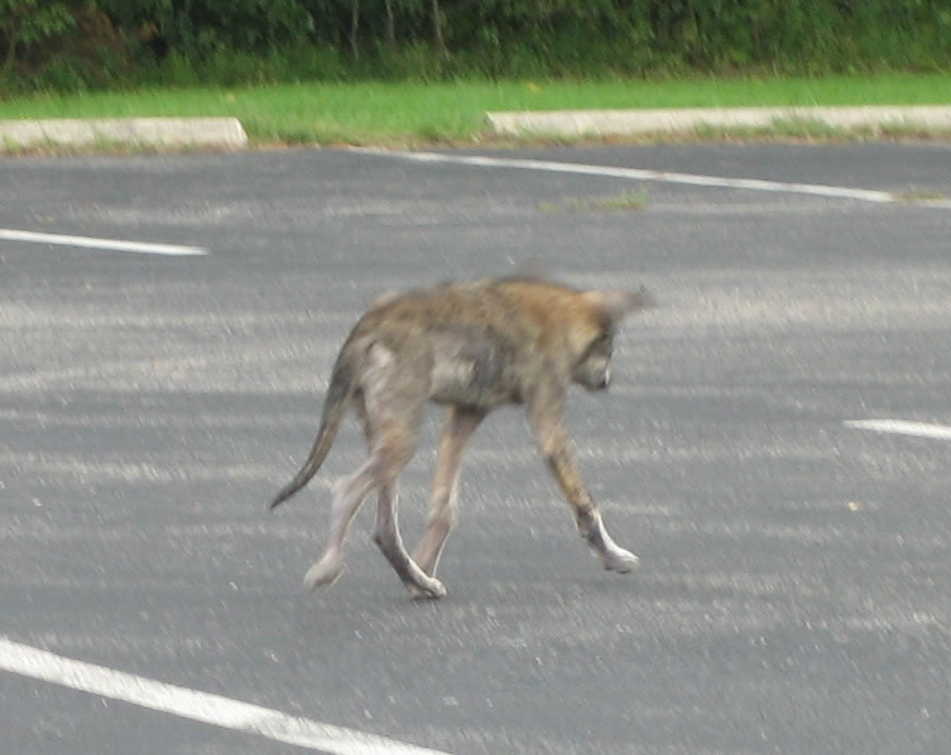 Can Mange In Coyotes Be Spread To Dogs
