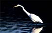 picture of egret