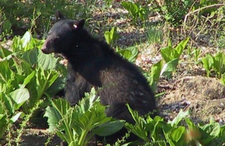 Bear in skunk cabbage