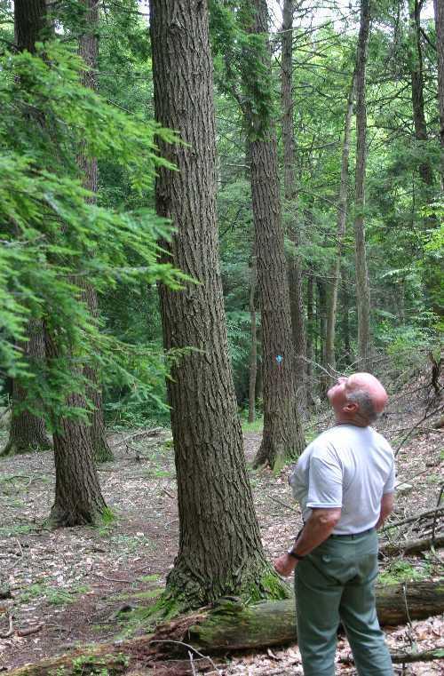 Forester evaluating hemlock