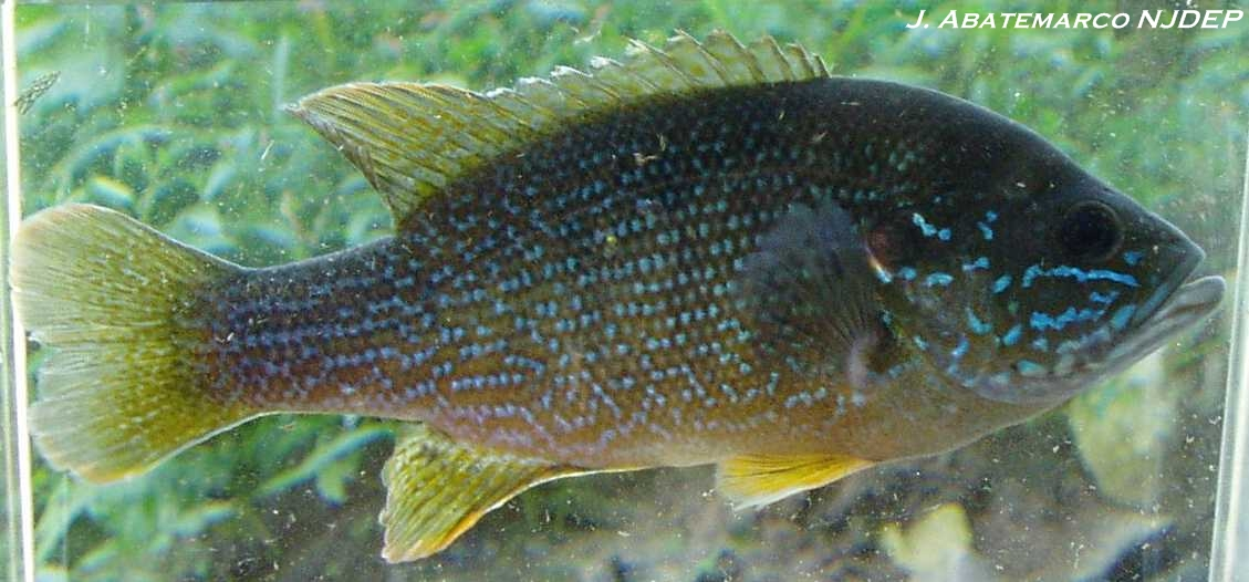 Warmouth and Green sunfish are two different fish.