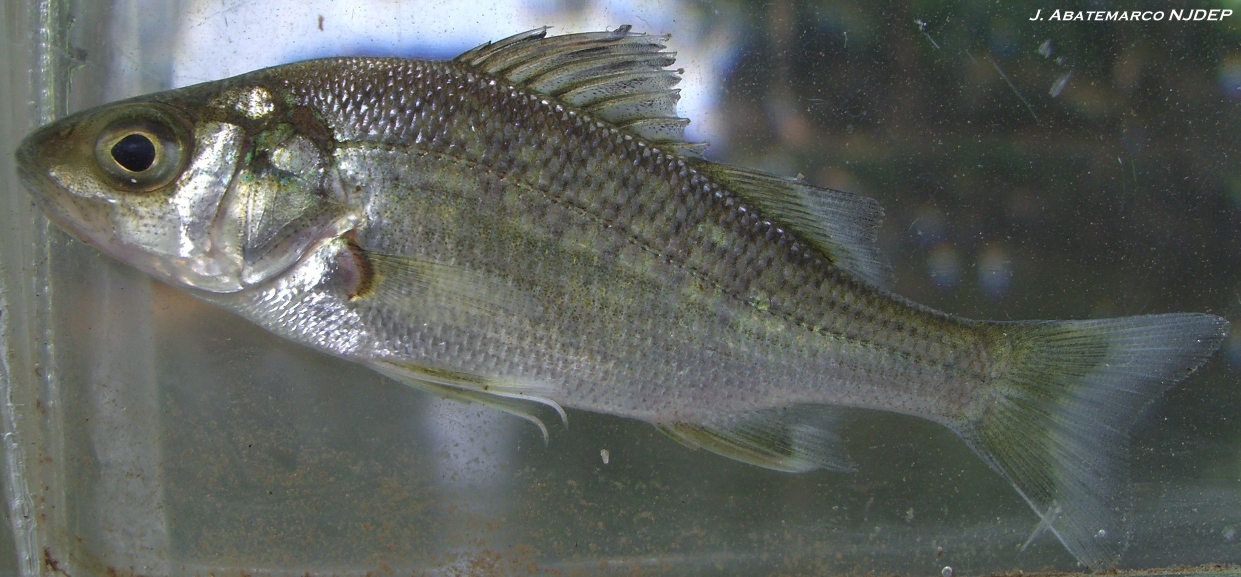 Njdep division of water monitoring and standards for White perch fish