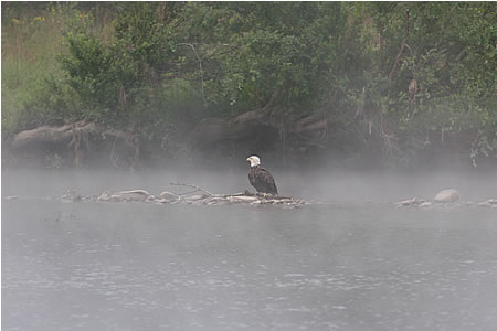 Photo of Bald Eagle on the Delaware River near Narrowsburg, N.Y., by David B. Soete.