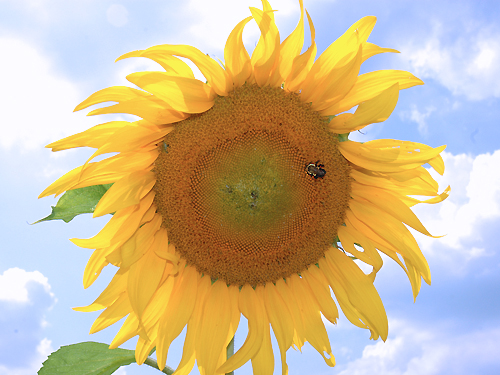 A large sunflower attracts a bumble bee at a farm near Vincentown