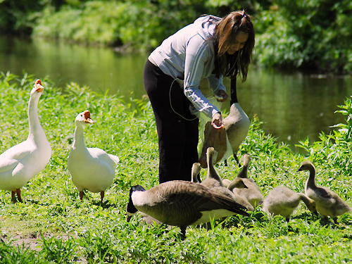 PGeese and goslings surround a women bearing treats for them along the canal in Lambertville