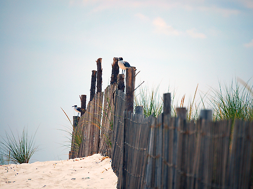 Seagulls perch on the posts of a fence protecting the dunes on Long Beach Island near Surf City