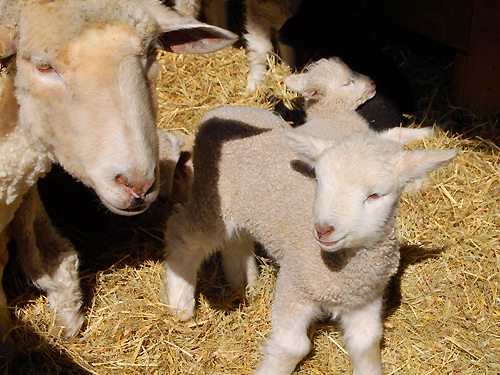 Just a few days old, a lamb stays close to its mother at Howell Living History Farm near Lambertville