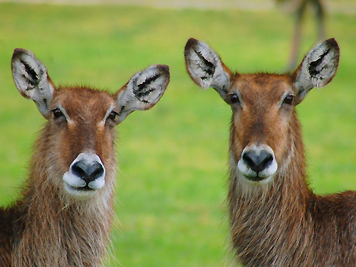 Two waterbucks (native to the African Plain) strike a pose at Great Adventure Safari, Jackson