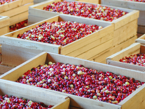 Crates await shipping to a processing plant in Burlington County...NJ is the nation's 3rd largest producer of cranberries.