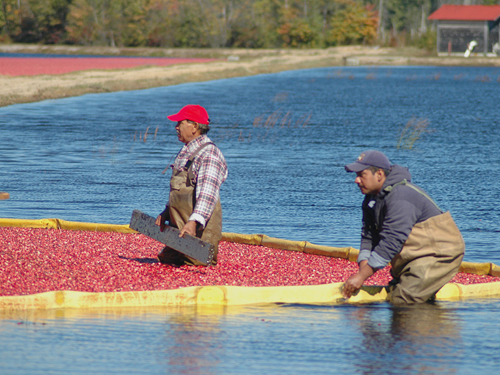 Harvesting cranberries in one of Burlington County's many bogs