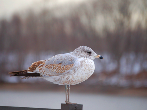 A snowbird sits perched on a fencepost along the Delaware River, Burlington