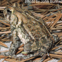 Fowler's Toad adult