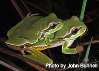 Pine Barrens treefrogs