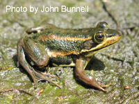 Carpenter Frog adult